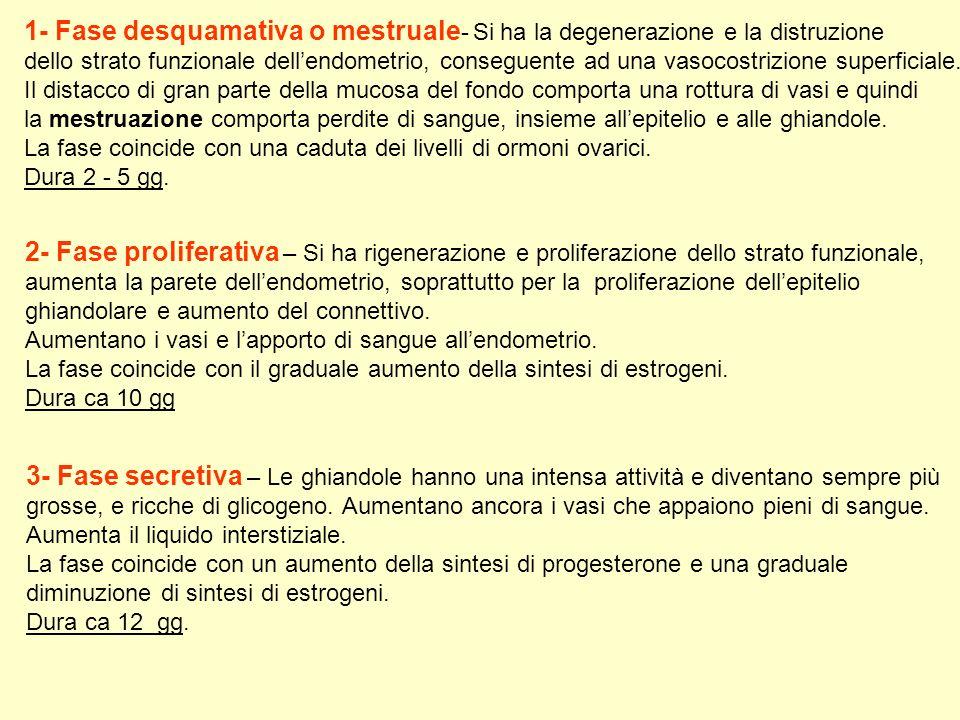 1- Fase desquamativa o mestruale - Si ha la degenerazione e la distruzione dello strato funzionale dellendometrio, conseguente ad una vasocostrizione