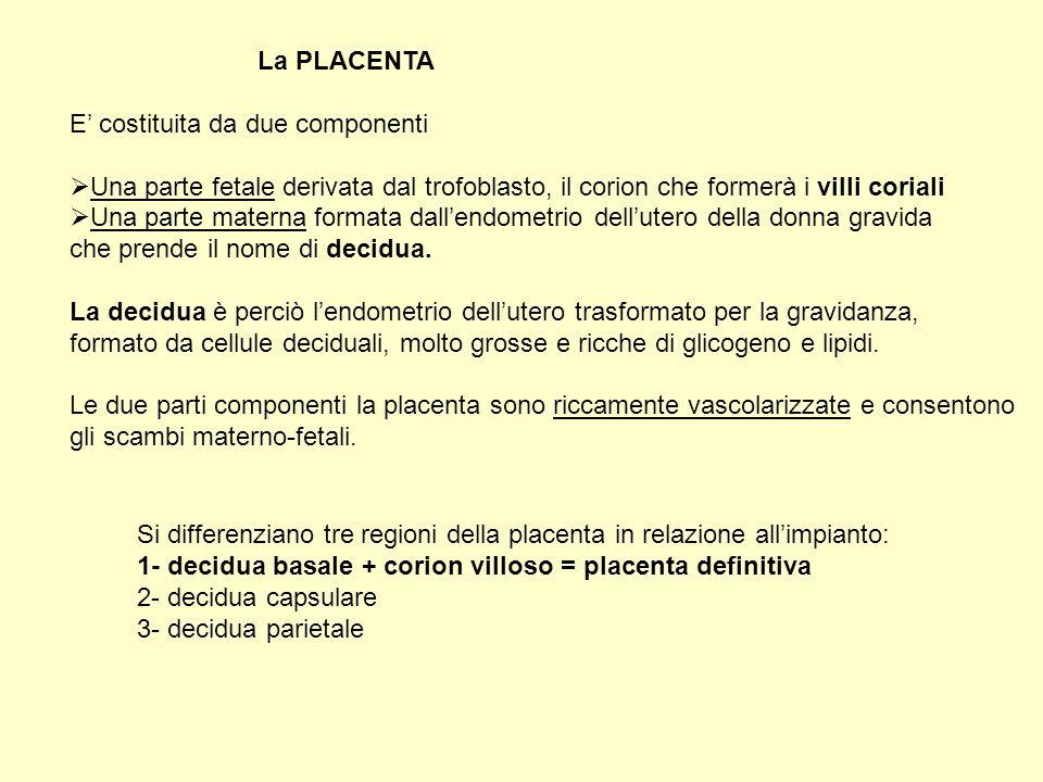 La placenta Si organizza a spese del corion (annesso embrionale) e della decidua basale (mucosa uterina) tramite vari stadi di maturazione.