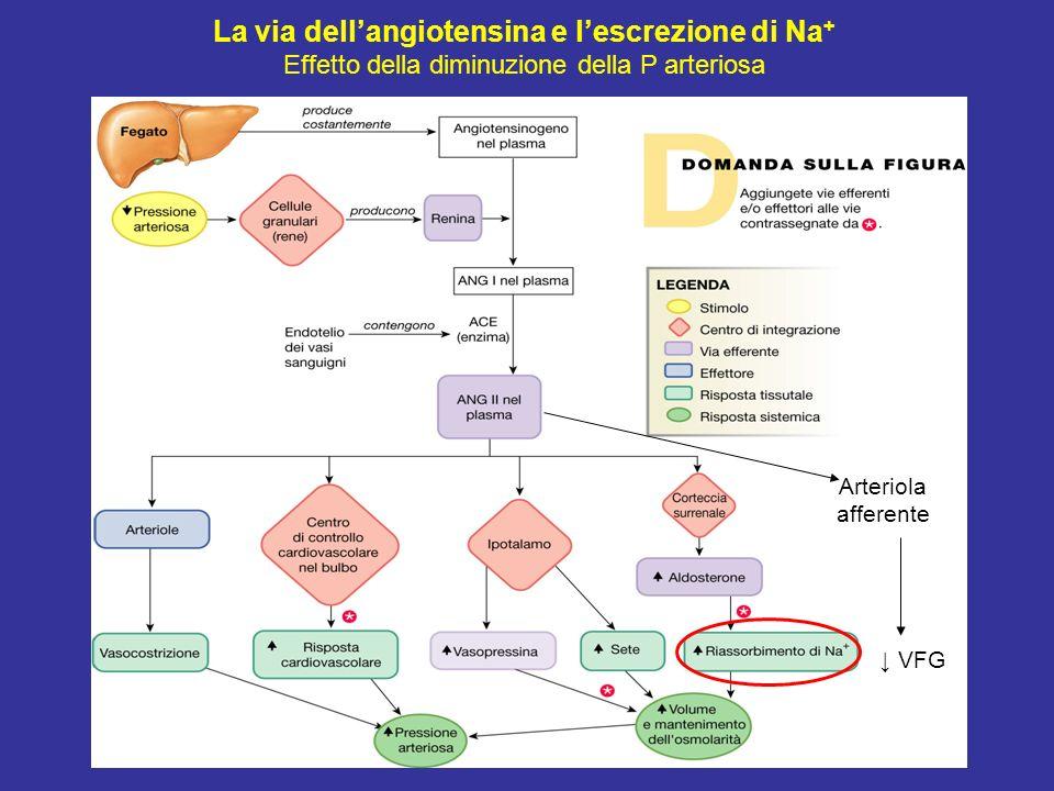 La via dellangiotensina e lescrezione di Na + Effetto della diminuzione della P arteriosa Arteriola afferente VFG
