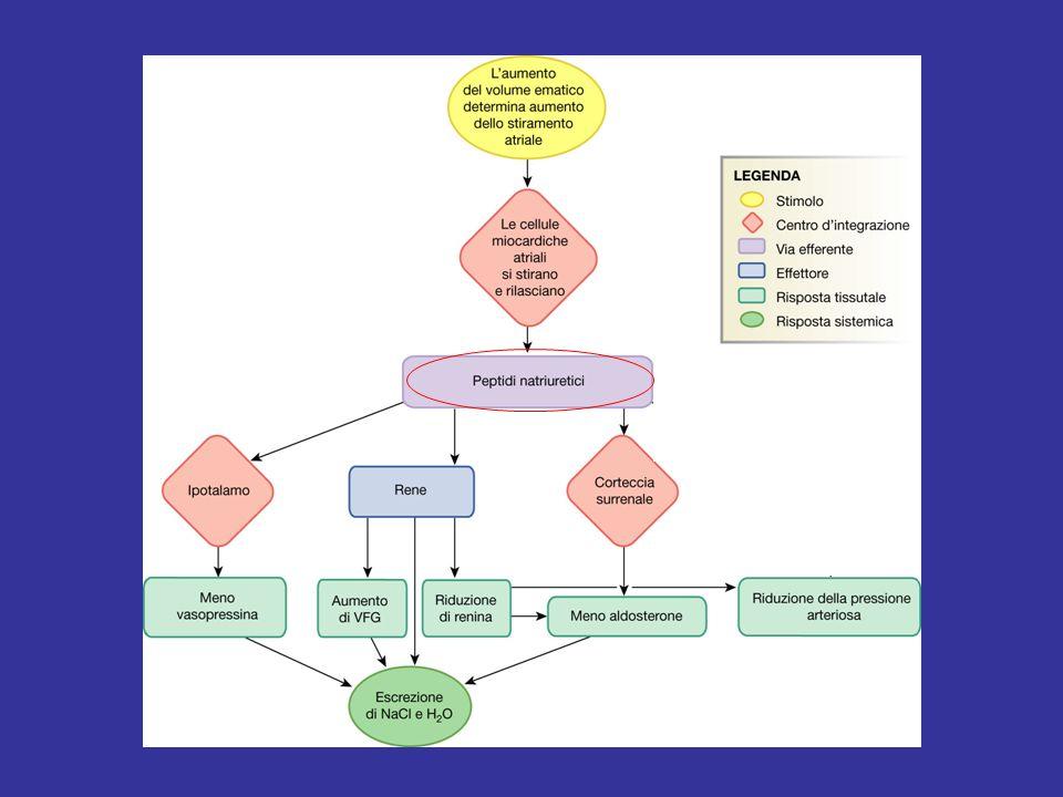 Riassorbimento renale del Na + Carico filtrato di Na + : 180 l/die × 140 mmol/l = 25200 mmol/die Riassorbimento renale: 1) 67% dal TCP; 2) 25% dal TAS dellansa di Henle; 3) 4% dal TCD; 4) > 3% dal dotto collettore.