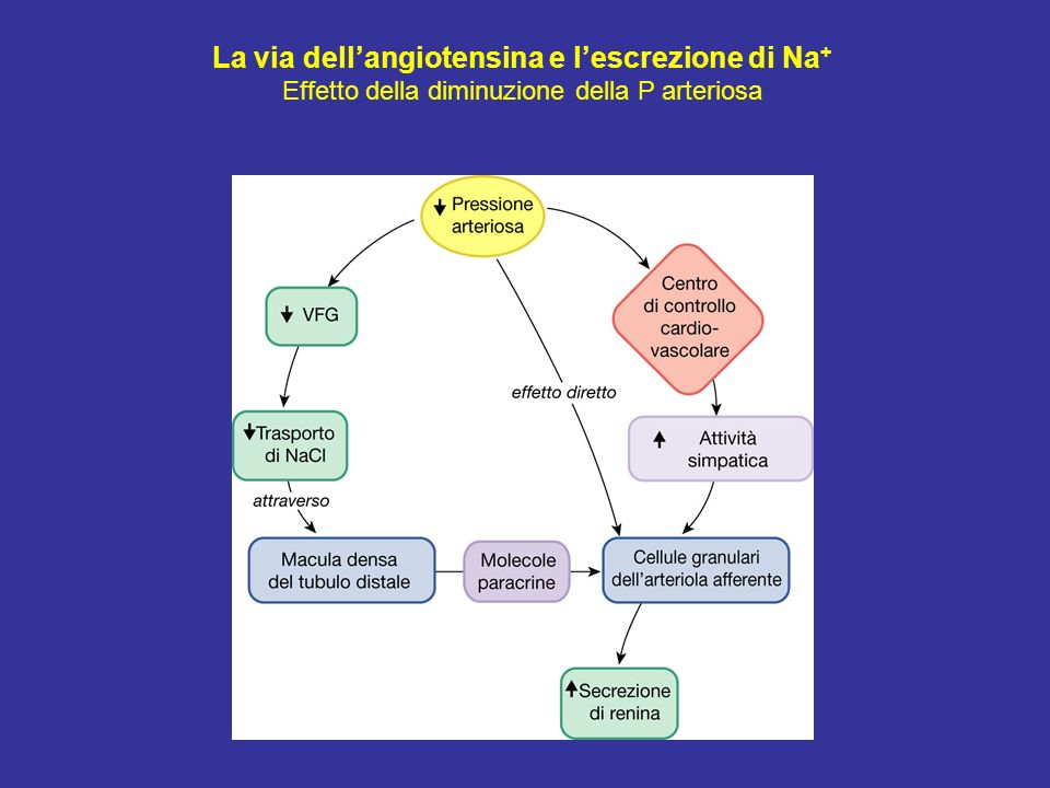La via dellangiotensina e lescrezione di Na + Effetto della diminuzione della P arteriosa