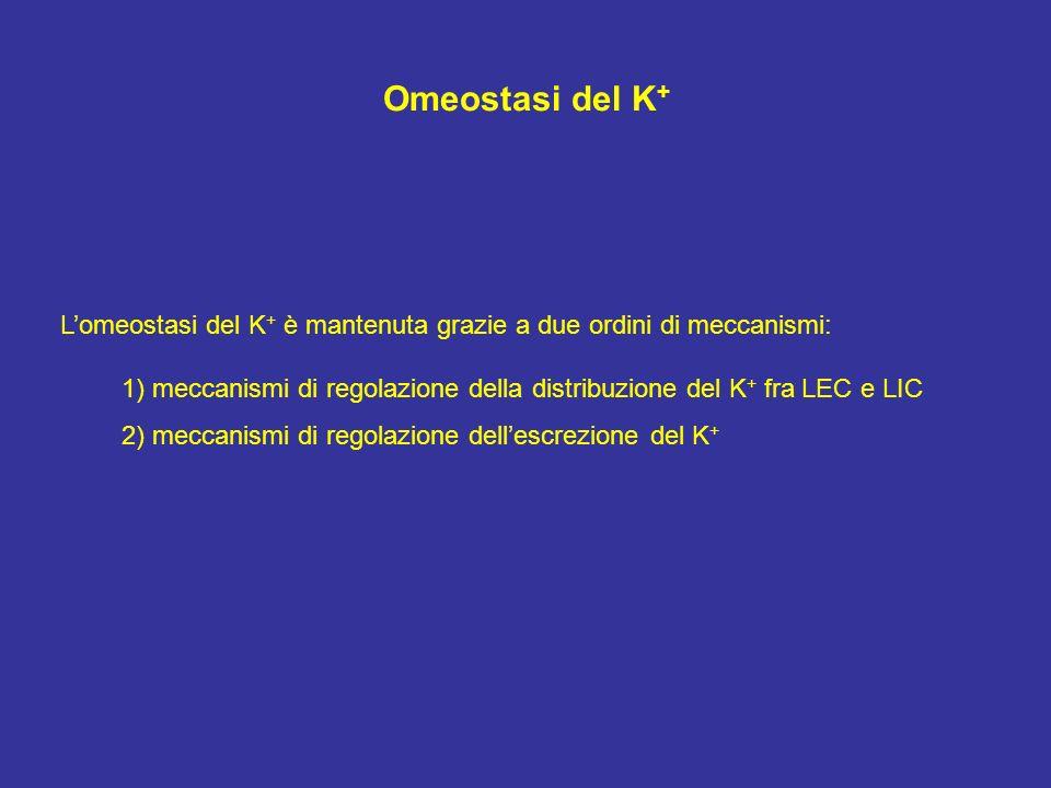 Omeostasi del K + Lomeostasi del K + è mantenuta grazie a due ordini di meccanismi: 1) meccanismi di regolazione della distribuzione del K + fra LEC e