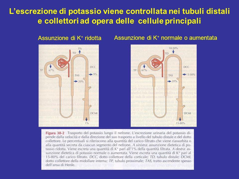 Assunzione di K + ridotta Assunzione di K + normale o aumentata Lescrezione di potassio viene controllata nei tubuli distali e collettori ad opera del