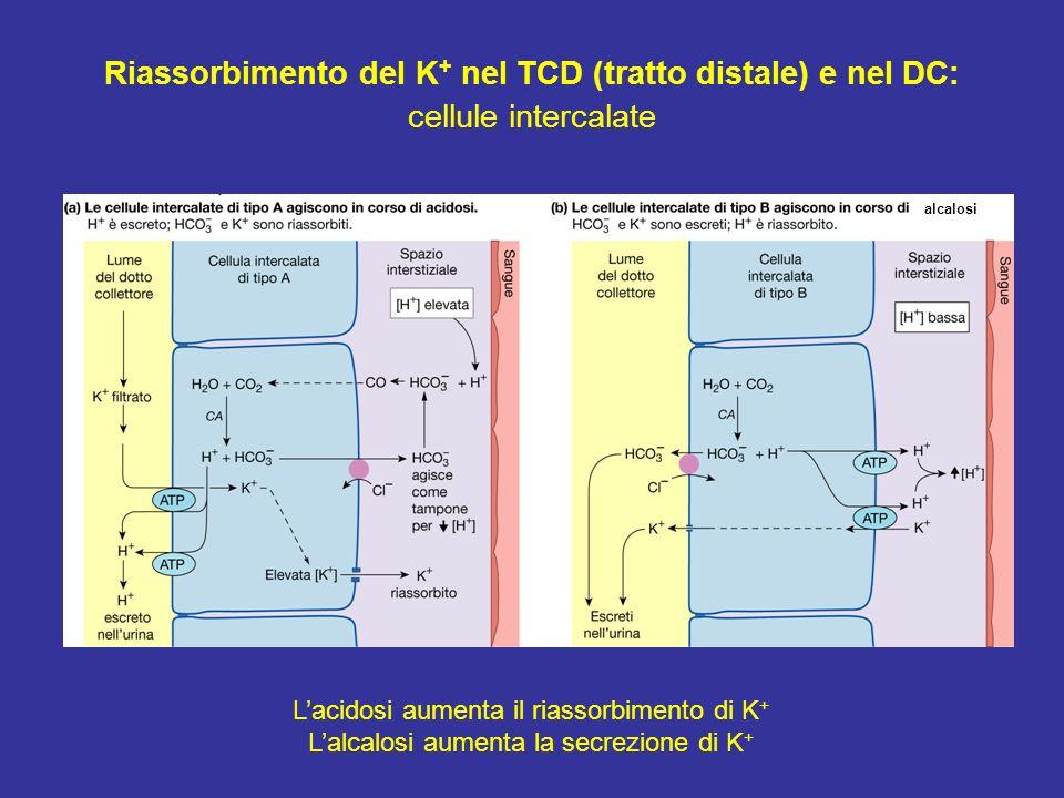 Lacidosi aumenta il riassorbimento di K + Lalcalosi aumenta la secrezione di K + alcalosi Riassorbimento del K + nel TCD (tratto distale) e nel DC: ce