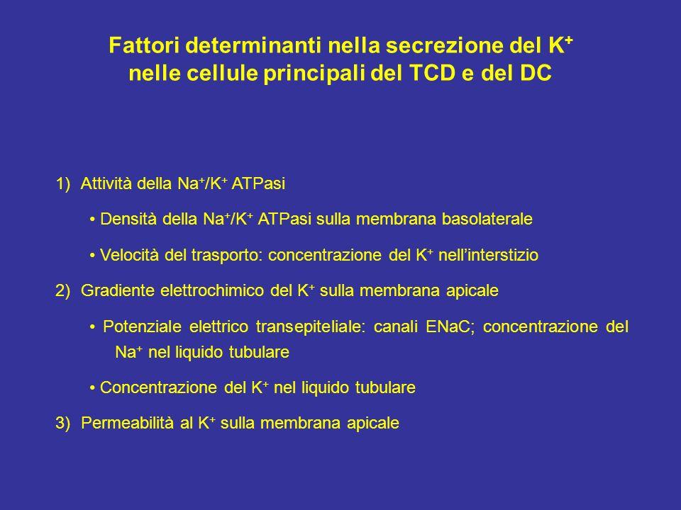 Fattori determinanti nella secrezione del K + nelle cellule principali del TCD e del DC 1)Attività della Na + /K + ATPasi Densità della Na + /K + ATPa