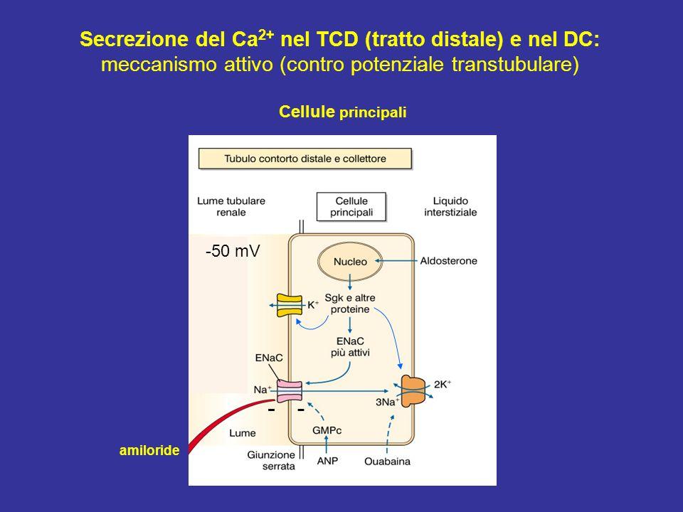 Cellule principali Secrezione del Ca 2+ nel TCD (tratto distale) e nel DC: meccanismo attivo (contro potenziale transtubulare) amiloride -50 mV --
