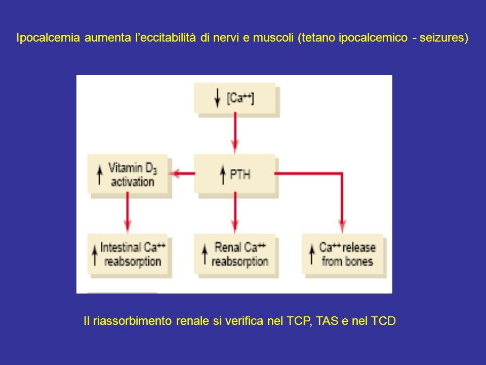 Il riassorbimento renale si verifica nel TCP, TAS e nel TCD Ipocalcemia aumenta leccitabilità di nervi e muscoli (tetano ipocalcemico - seizures)