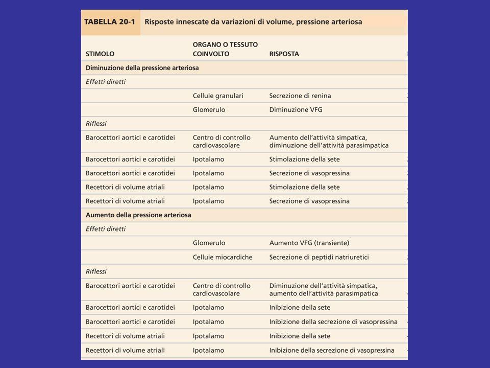 Azioni delle terminazioni ortosimpatiche renali Un aumento dellattività delle fibre ortosimpatiche renali ha i seguenti effetti: 1) vasocostrizione dellarteriola afferente (recettori α) VFG carico filtrato di NaCl; 2) aumento della secrezione di renina dalle cellule granulari (recettori β) AT II; 3) aumento riassorbimento tubulare di NaCl (soprattutto TCP; recettori α).