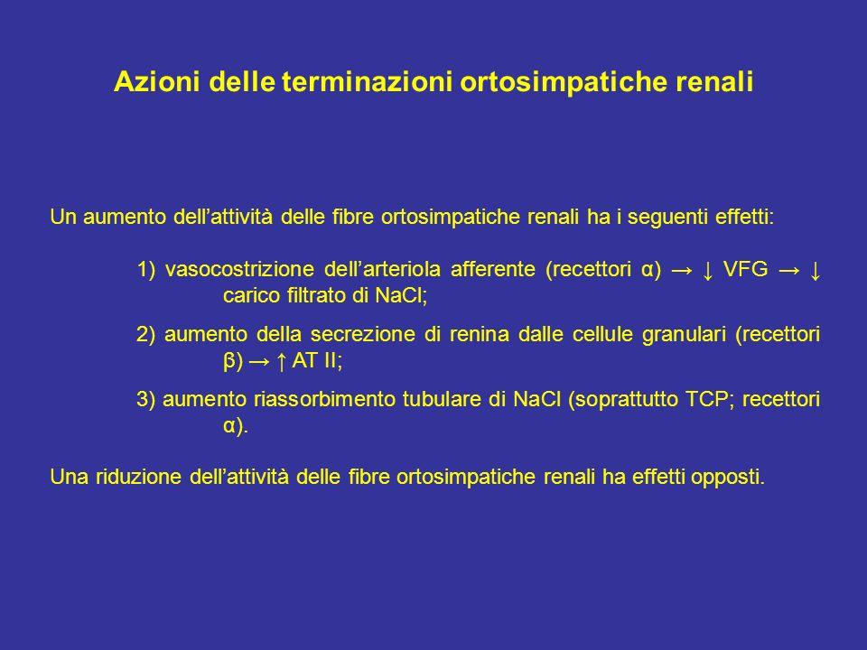 Azioni delle terminazioni ortosimpatiche renali Un aumento dellattività delle fibre ortosimpatiche renali ha i seguenti effetti: 1) vasocostrizione de