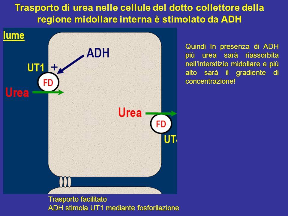 Trasporto facilitato ADH stimola UT1 mediante fosforilazione Trasporto di urea nelle cellule del dotto collettore della regione midollare interna è st