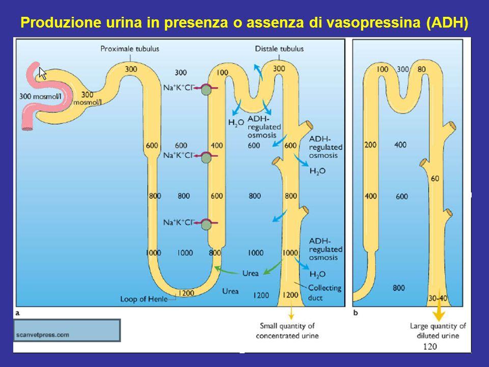 Produzione urina in presenza o assenza di vasopressina (ADH)