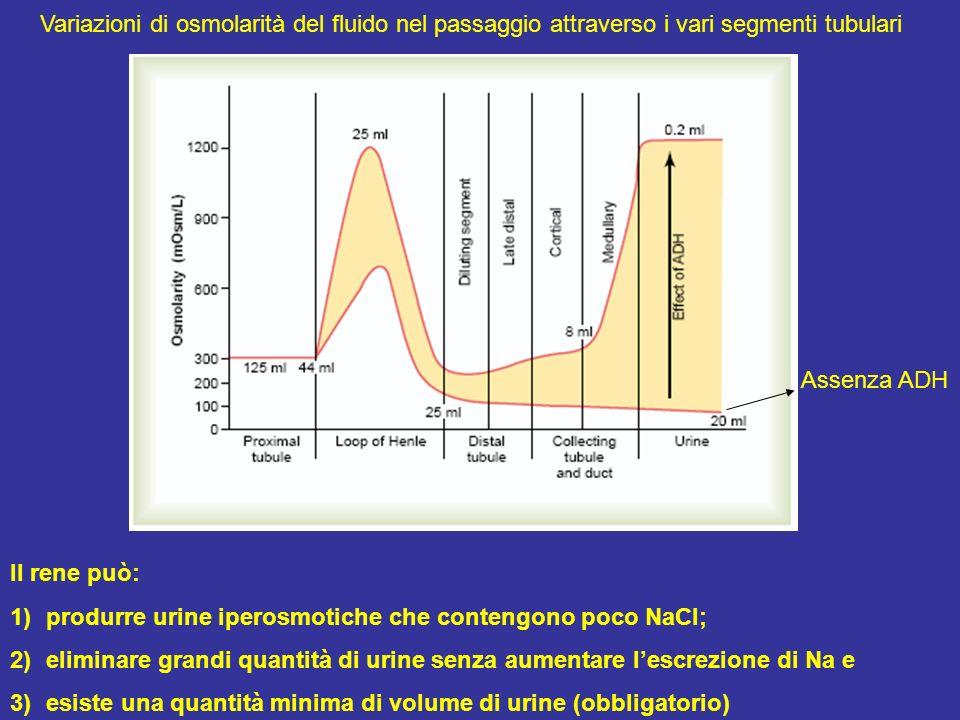 Variazioni di osmolarità del fluido nel passaggio attraverso i vari segmenti tubulari Il rene può: 1)produrre urine iperosmotiche che contengono poco