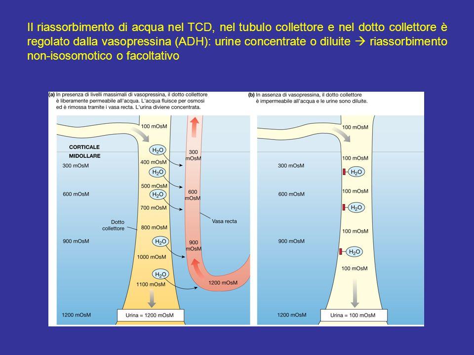 Il riassorbimento di acqua nel TCD, nel tubulo collettore e nel dotto collettore è regolato dalla vasopressina (ADH): urine concentrate o diluite rias