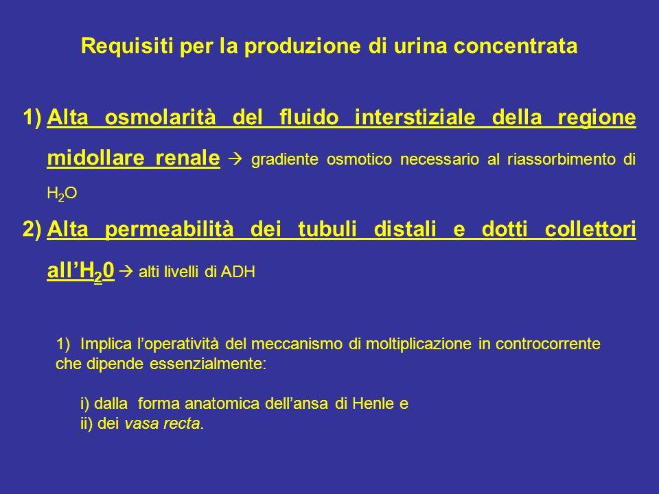 Requisiti per la produzione di urina concentrata 1)Alta osmolarità del fluido interstiziale della regione midollare renale gradiente osmotico necessar