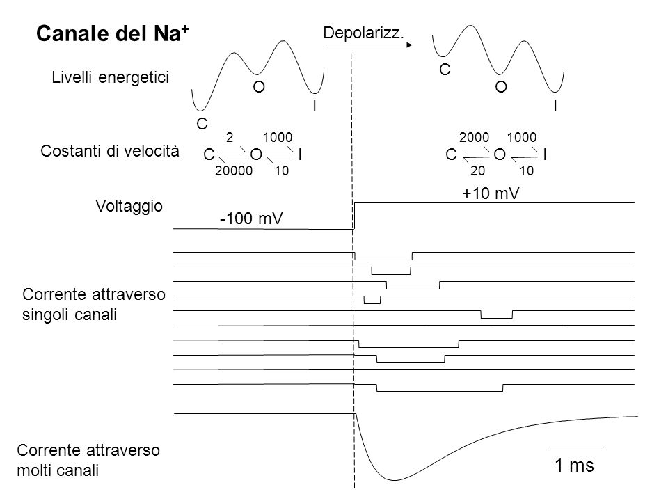 1 ms I O C C I O C O I 20000 10 2 1000 C O I 10 1000 20 2000 Canale del Na + Voltaggio Livelli energetici Costanti di velocità Corrente attraverso sin