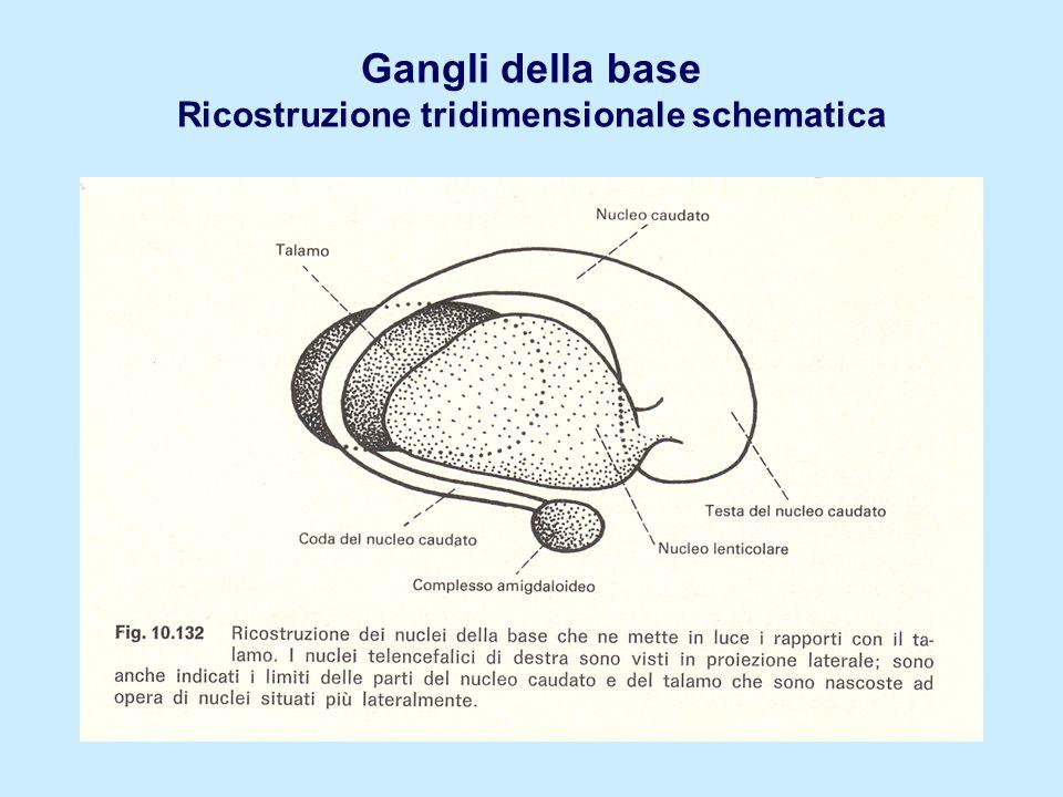 Gangli della base Ricostruzione tridimensionale schematica