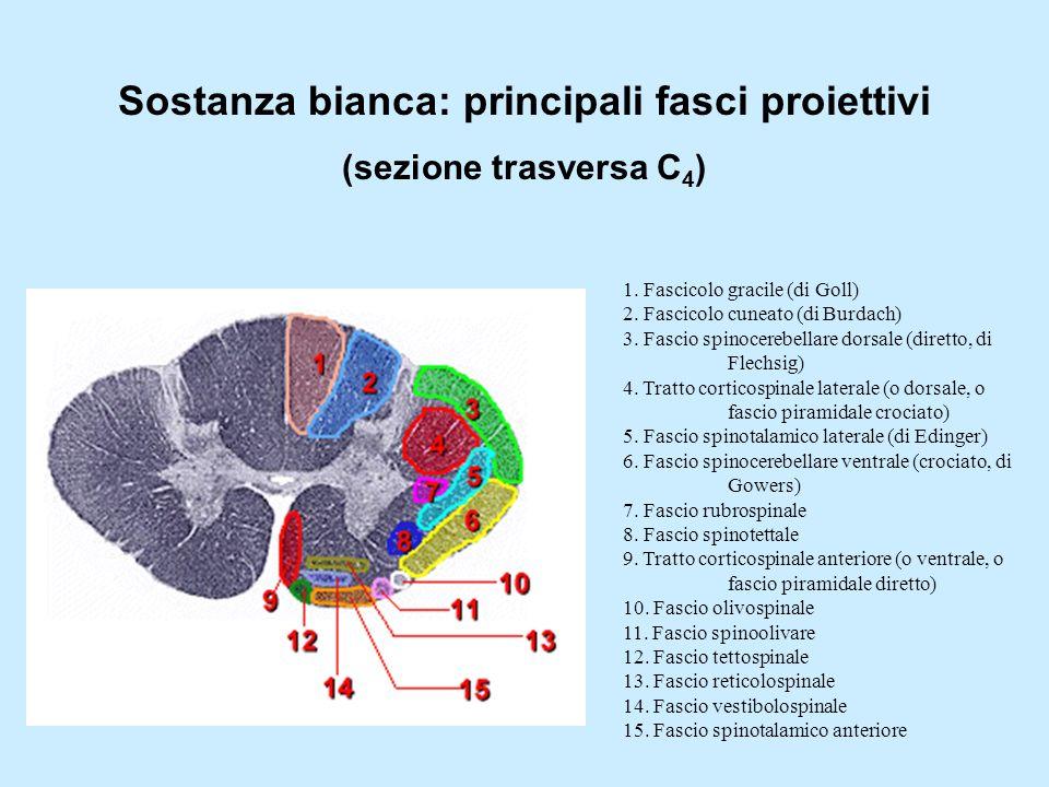 Sostanza bianca: principali fasci proiettivi (sezione trasversa C 4 ) 1. Fascicolo gracile (di Goll) 2. Fascicolo cuneato (di Burdach) 3. Fascio spino