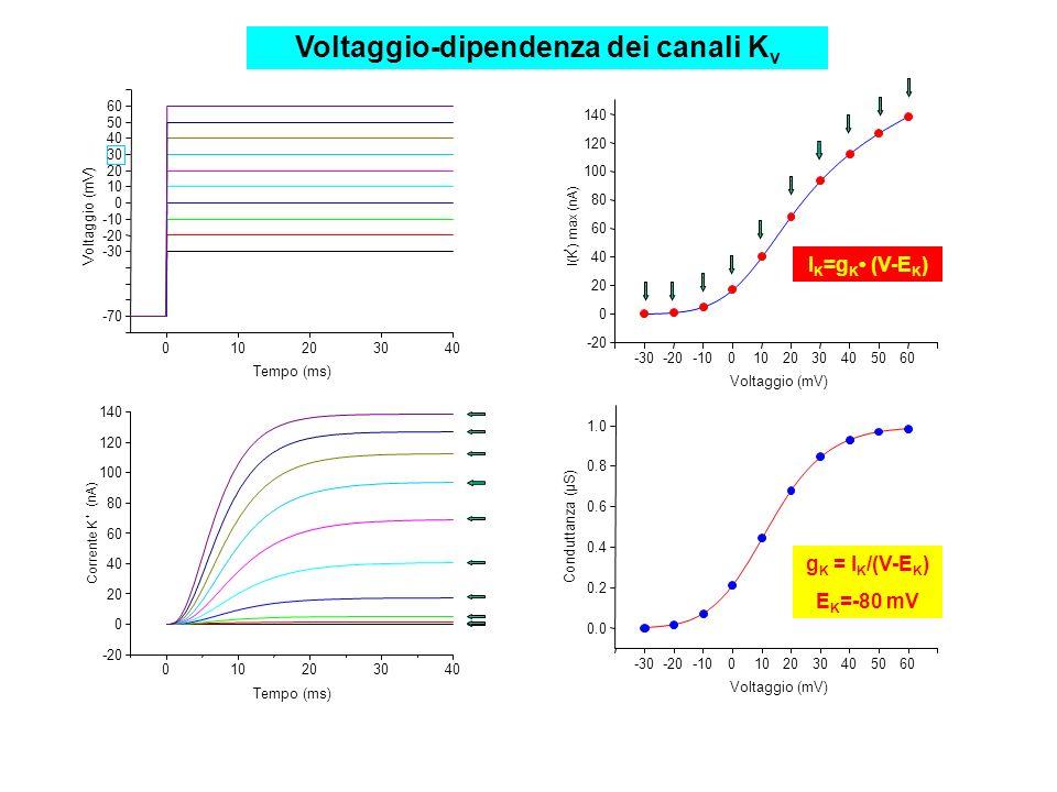 Corrente K + (nA) 010203040 -20 0 20 40 60 80 100 120 140 Tempo (ms) 010203040 -70 Voltaggio (mV) Tempo (ms) -30 -20 -10 0 10 20 30 40 50 60 -30-20-10