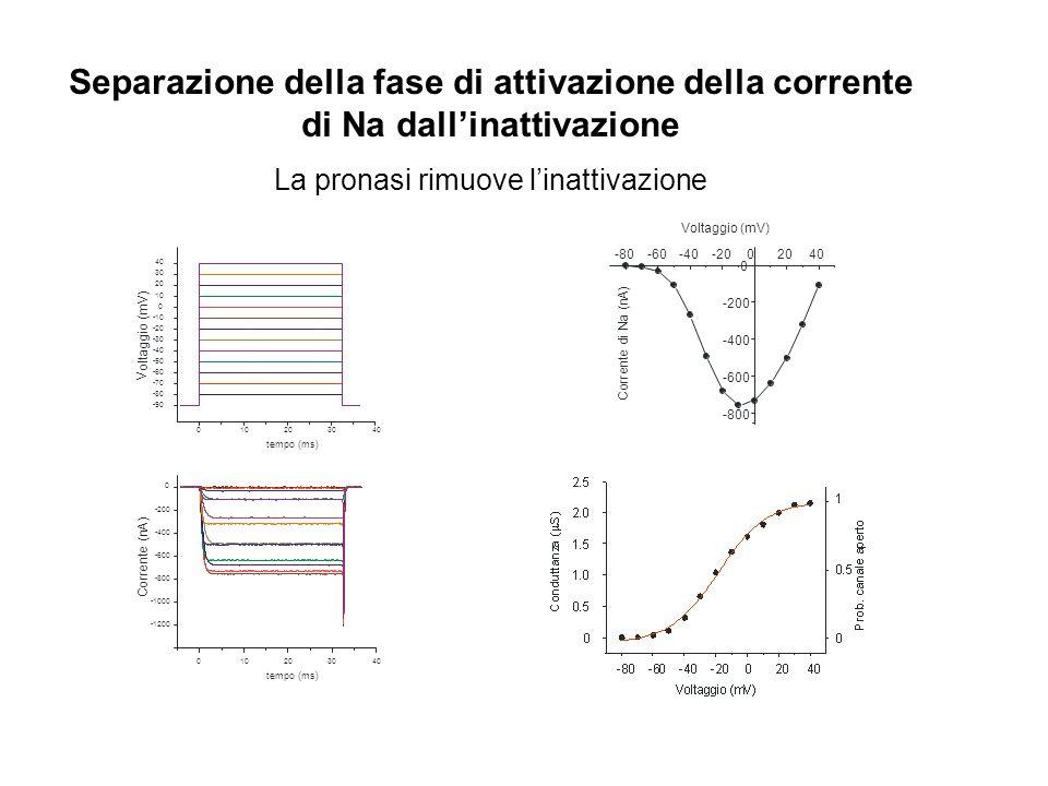 Separazione della fase di attivazione della corrente di Na dallinattivazione La pronasi rimuove linattivazione -1200 -1000 -800 -600 -400 -200 0 C o r