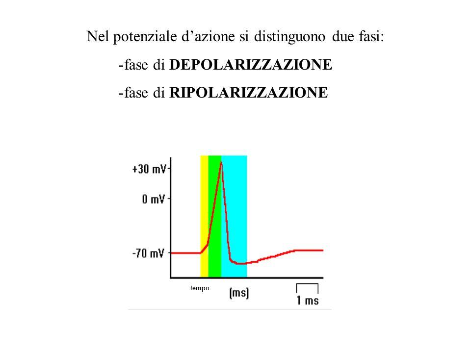 Nel potenziale dazione si distinguono due fasi: -fase di DEPOLARIZZAZIONE -fase di RIPOLARIZZAZIONE tempo