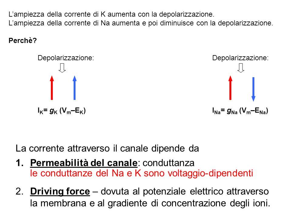La corrente attraverso il canale dipende da 1.Permeabilità del canale: conduttanza le conduttanze del Na e K sono voltaggio-dipendenti 2.Driving force
