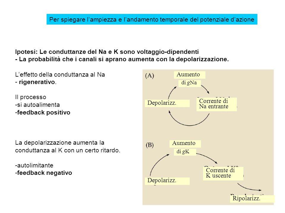 Ipotesi: Le conduttanze del Na e K sono voltaggio-dipendenti - La probabilità che i canali si aprano aumenta con la depolarizzazione. Leffetto della c