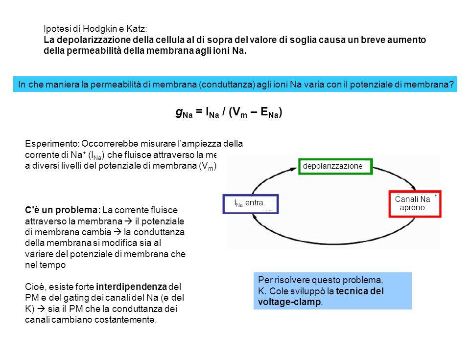 Esercizio Usando il programma di simulazione H&H, progettare un esperimento di voltage-clamp per determinare: (a)Il potenziale di inversione della corrente del Na (b)Il potenziale di inversione della corrente del potassio