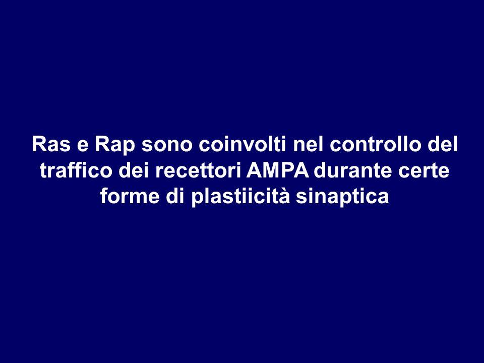 Ras e Rap sono coinvolti nel controllo del traffico dei recettori AMPA durante certe forme di plastiicità sinaptica