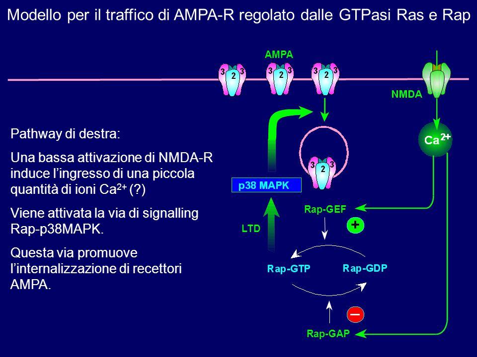 Pathway di destra: Una bassa attivazione di NMDA-R induce lingresso di una piccola quantità di ioni Ca 2+ (?) Viene attivata la via di signalling Rap-