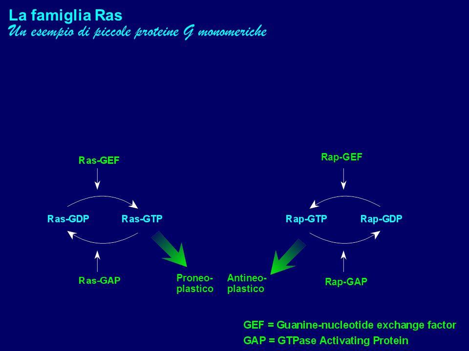 La famiglia Ras Un esempio di piccole proteine G monomeriche Proneo- plastico Antineo- plastico Rap-GEF Rap-GAP