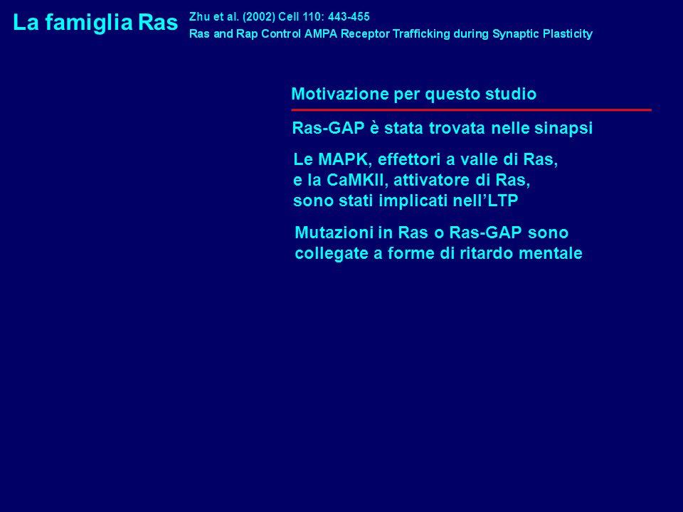 La famiglia Ras Motivazione per questo studio Ras-GAP è stata trovata nelle sinapsi Zhu et al. (2002) Cell 110: 443-455 Le MAPK, effettori a valle di