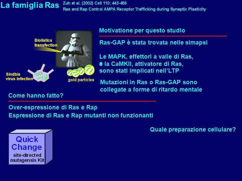 La famiglia Ras Motivatione per questo studio Ras-GAP è stata trovata nelle simapsi Le MAPK, effettori a valle di Ras, e la CaMKII, attivatore di Ras,