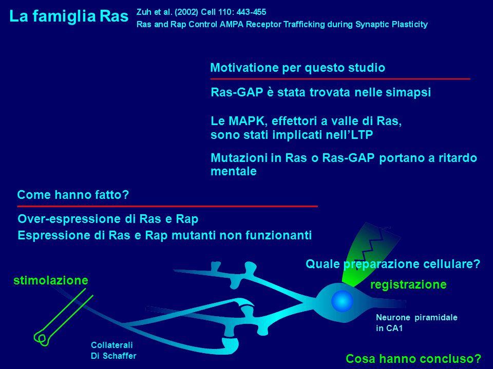 La famiglia Ras Motivatione per questo studio Ras-GAP è stata trovata nelle simapsi Le MAPK, effettori a valle di Ras, sono stati implicati nellLTP Mu