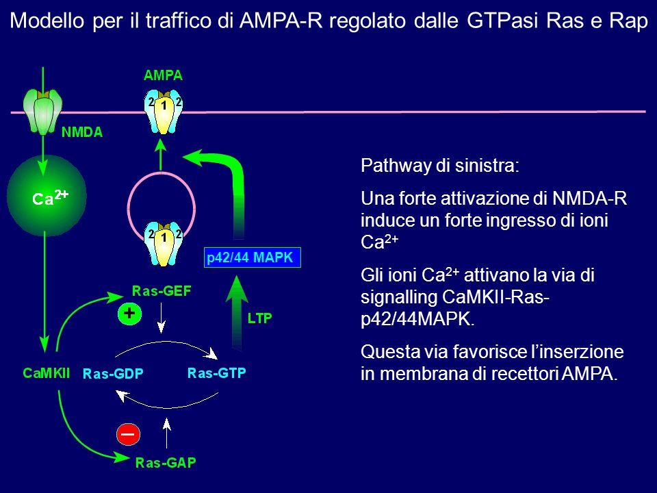 Pathway di sinistra: Una forte attivazione di NMDA-R induce un forte ingresso di ioni Ca 2+ Gli ioni Ca 2+ attivano la via di signalling CaMKII-Ras- p