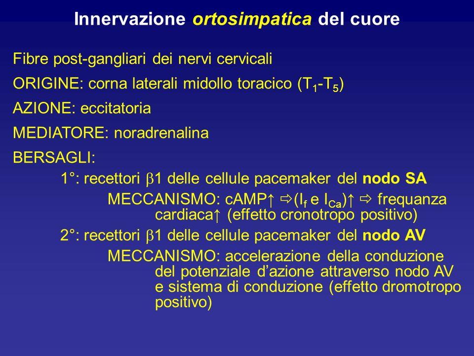 Innervazione ortosimpatica del cuore Fibre post-gangliari dei nervi cervicali ORIGINE: corna laterali midollo toracico (T 1 -T 5 ) AZIONE: eccitatoria