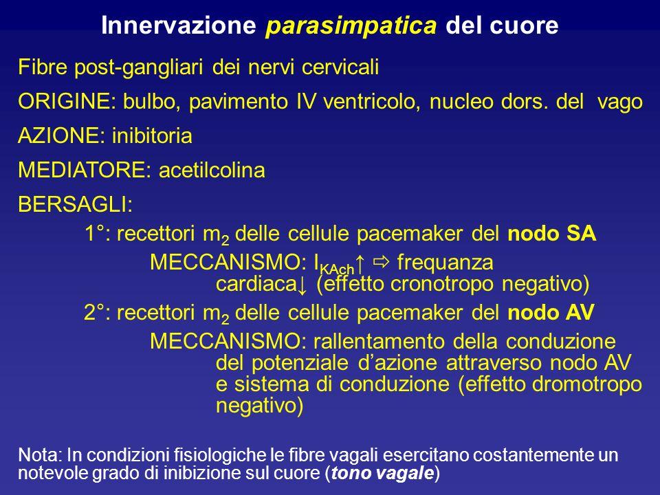 Innervazione parasimpatica del cuore Fibre post-gangliari dei nervi cervicali ORIGINE: bulbo, pavimento IV ventricolo, nucleo dors. del vago AZIONE: i