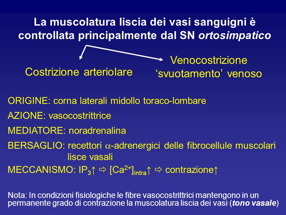 La muscolatura liscia dei vasi sanguigni è controllata principalmente dal SN ortosimpatico Costrizione arteriolare Venocostrizione svuotamento venoso