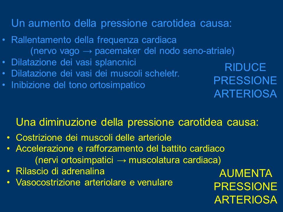 Un aumento della pressione carotidea causa: Rallentamento della frequenza cardiaca (nervo vago pacemaker del nodo seno-atriale) Dilatazione dei vasi s