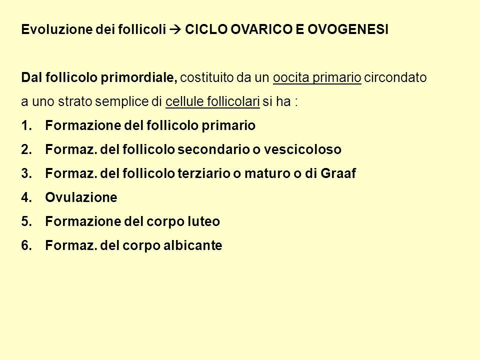 Evoluzione dei follicoli CICLO OVARICO E OVOGENESI Dal follicolo primordiale, costituito da un oocita primario circondato a uno strato semplice di cellule follicolari si ha : 1.Formazione del follicolo primario 2.Formaz.
