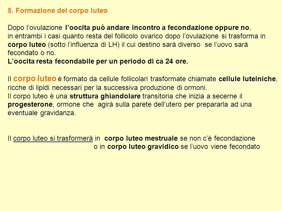 5. Formazione del corpo luteo Dopo lovulazione loocita può andare incontro a fecondazione oppure no, in entrambi i casi quanto resta del follicolo ova
