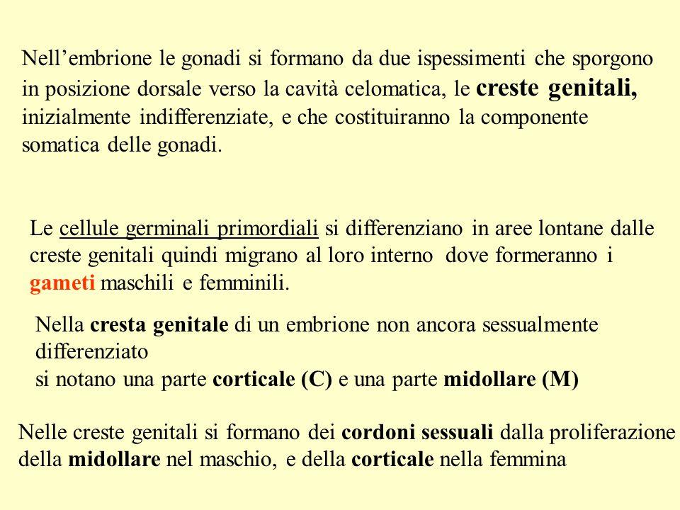 Nellembrione le gonadi si formano da due ispessimenti che sporgono in posizione dorsale verso la cavità celomatica, le creste genitali, inizialmente indifferenziate, e che costituiranno la componente somatica delle gonadi.
