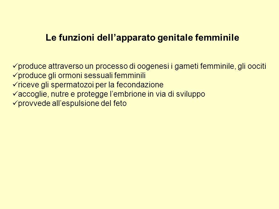 GENITALI INTERNI - Ovaie (sede di produzione degli oociti e di ormoni) - Tube uterine o ovidutti (sede della fecondazione) - Utero (organo della gestazione) - Vagina (organo della copula)