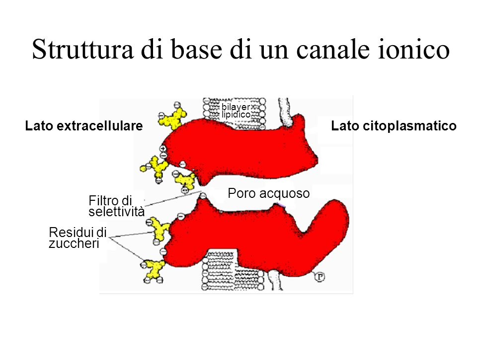 Tipo di trasportatoreVelocità di turnover Pompe ioniche 2-5· 10 2 /sec Glucoso-permeasi10 3 -10 4 /sec Canale del Na + ~ 10 8 /sec I canali ionici per