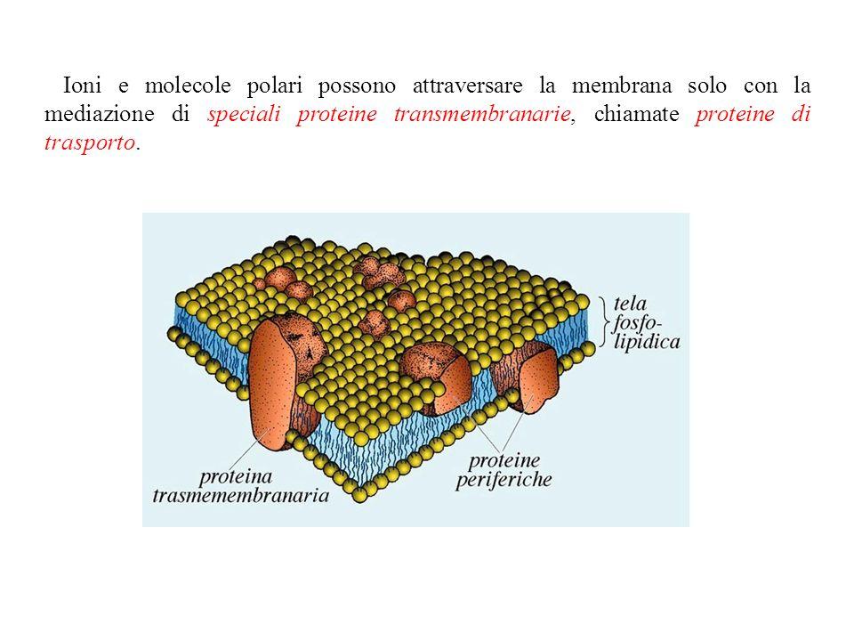 Una membrana costituita da un puro bilayer fosfolipidico è impermeabile alle proteine e alla maggior parte delle piccole molecole Gas Etanolo Piccole