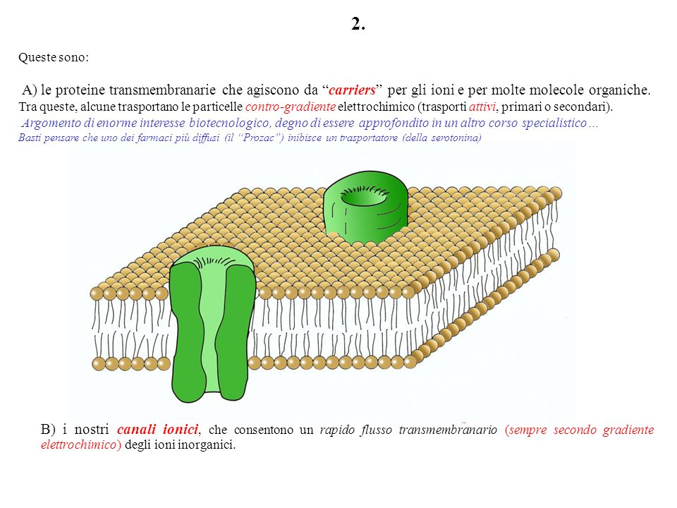 Ioni e molecole polari possono attraversare la membrana solo con la mediazione di speciali proteine transmembranarie, chiamate proteine di trasporto.