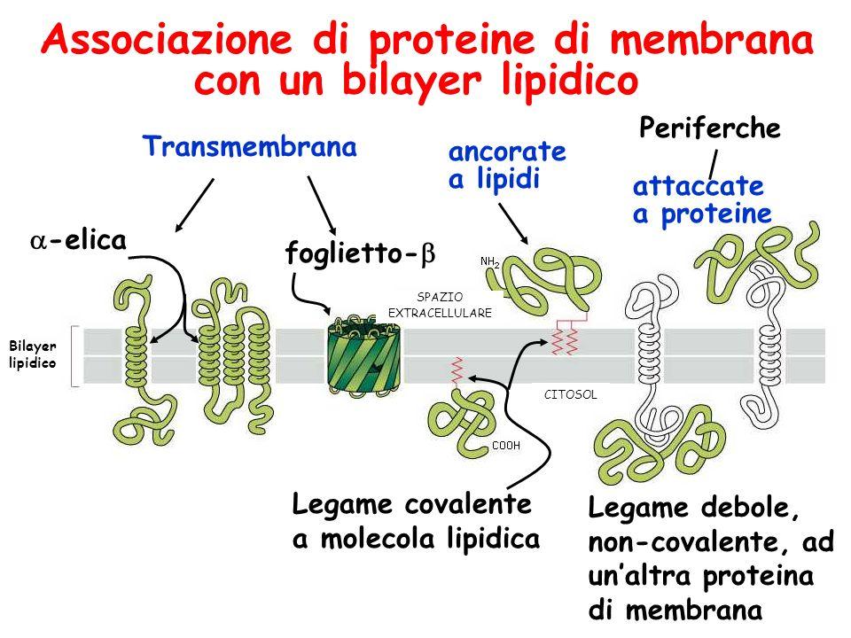 Associazione di proteine di membrana con un bilayer lipidico Legame covalente a molecola lipidica Legame debole, non-covalente, ad unaltra proteina di membrana SPAZIO EXTRACELLULARE CITOSOL Bilayer lipidico foglietto- ancorate a lipidi Periferche attaccate a proteine -elica Transmembrana