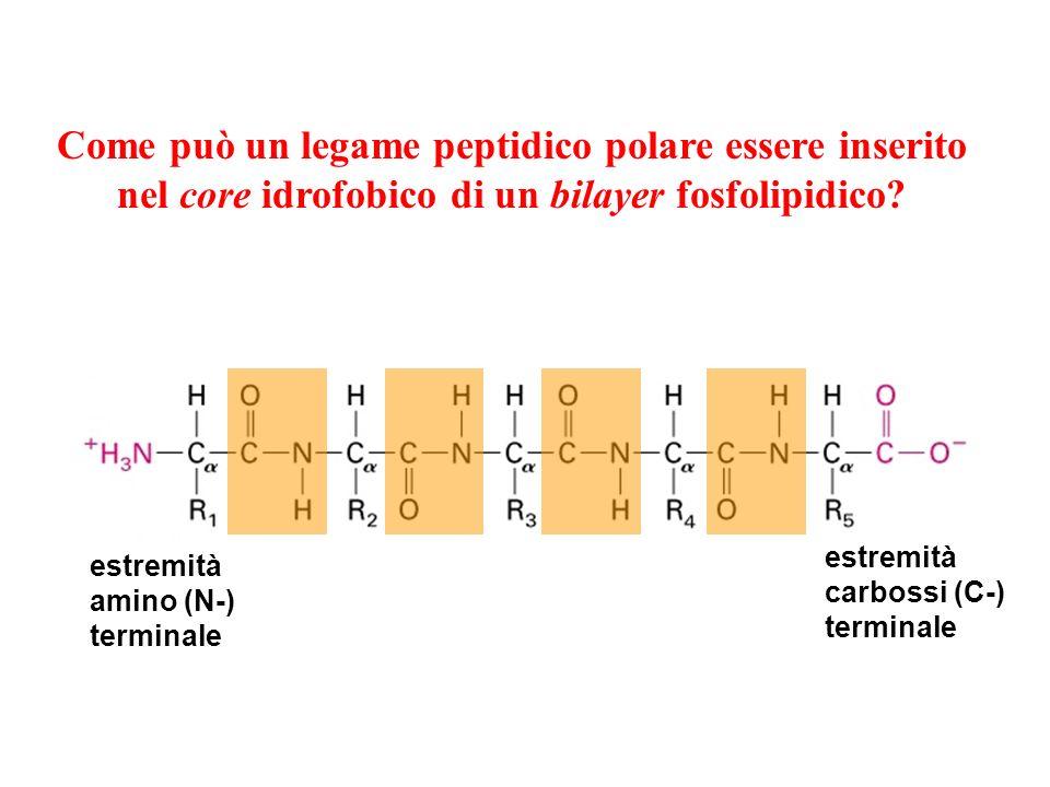 Come può un legame peptidico polare essere inserito nel core idrofobico di un bilayer fosfolipidico.