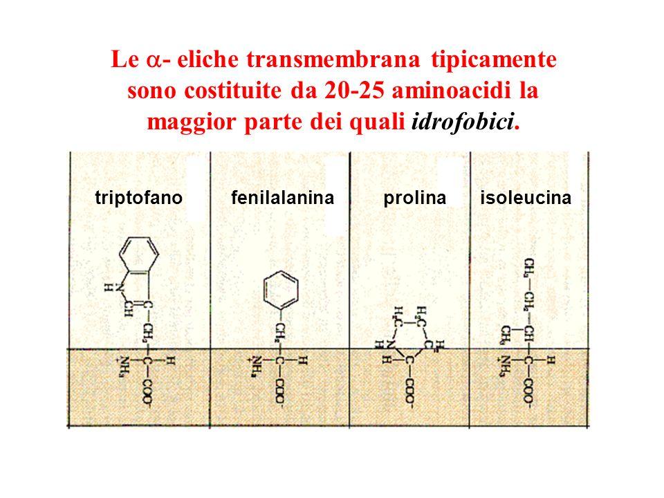 Come può un legame peptidico polare essere inserito nel core idrofobico di un bilayer fosfolipidico? estremità amino (N-) terminale estremità carbossi