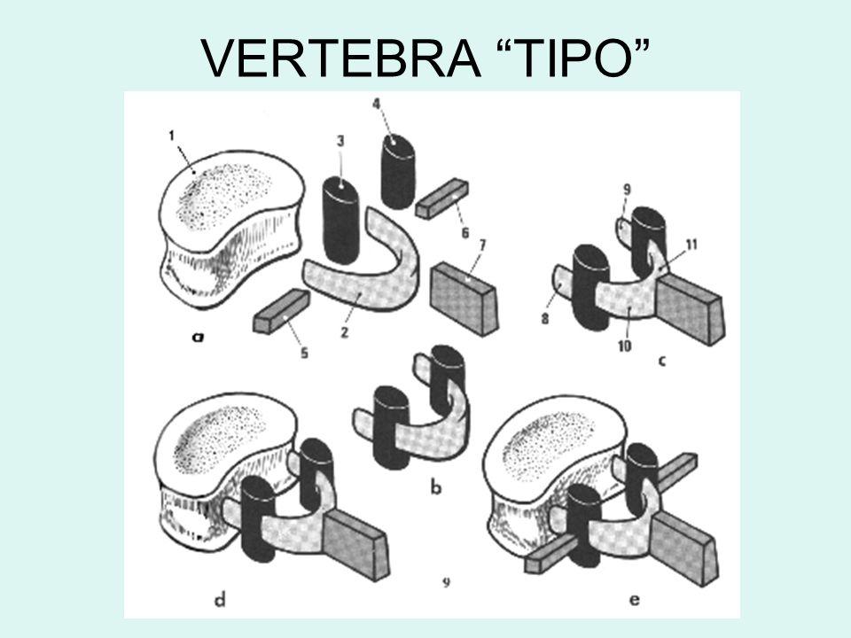 VERTEBRA TIPO