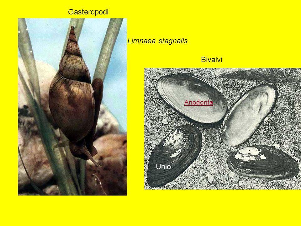 Limnaea stagnalis Bivalvi Gasteropodi Unio Anodonta
